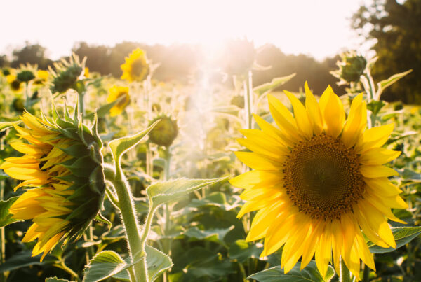 Celebrate National Simplify Your Life Week | Sunflowers
